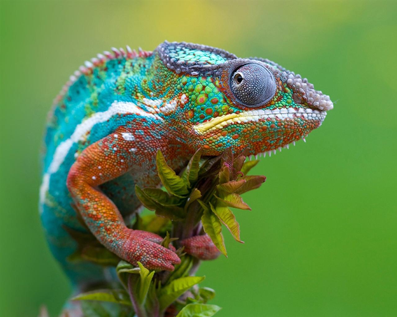 chameleon-gaze_1280x1024